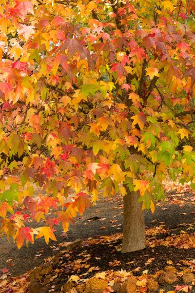 Autumn Colour Margaret river photo