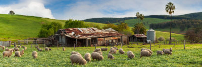 Sheep and farm shed Balingup photography