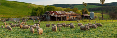 Sheep and farm shed Balingup photo
