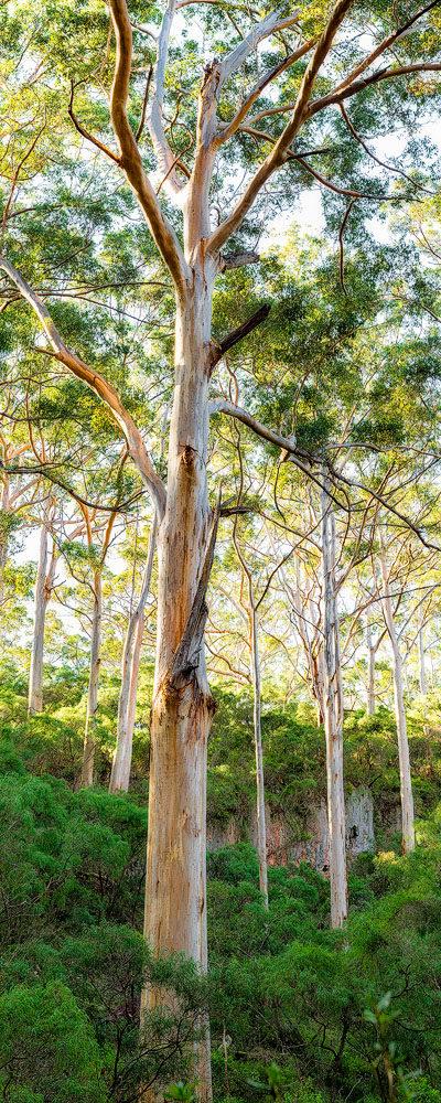 Boranup forest image