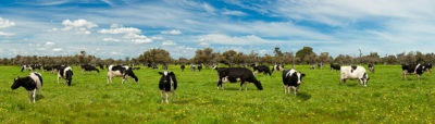 Capel Cows landscape photography