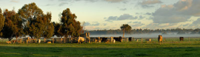 Capel Cows photo