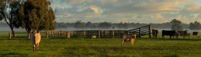 Capel Cows photography
