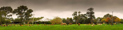 Margaret River Cows photography