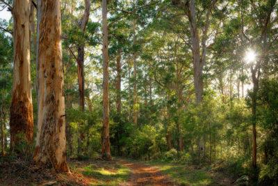 Pemberton Forest WA photo