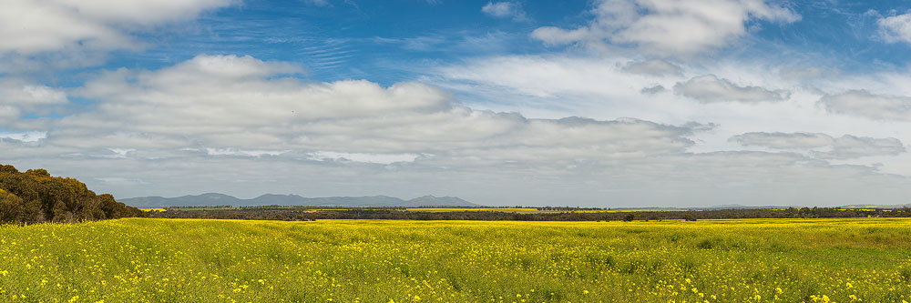 STR10e - Canola, Stirling Ranges, WA