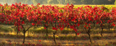 Vineyard Yallingup landscape photography