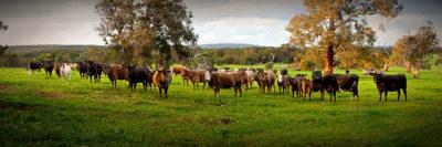 Wyadup Farm Cows photo