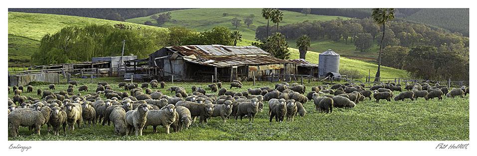BAL02 - Balingup Farm Sheep, Large Desktop