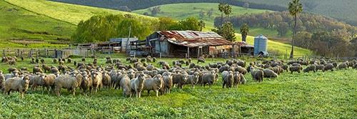 Sheep and Farm Shed Balingup