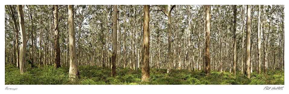 BOR01 - Boranup forest, Large Desktop
