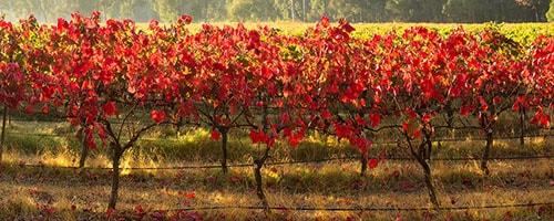 Yallingup Vineyard